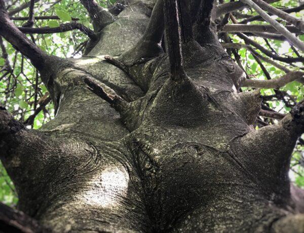 gli-alberi-di-bach-holly