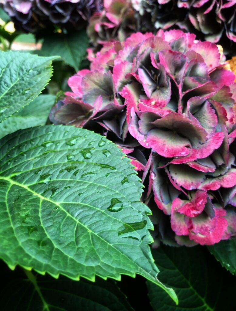 ortensia rimedio floreale
