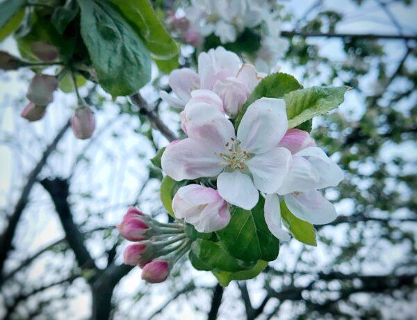 Crab Apple il fiore di Bach per la purifciazione