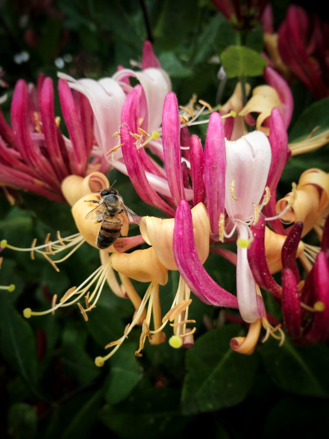 riconoscere i fiori di Bach
